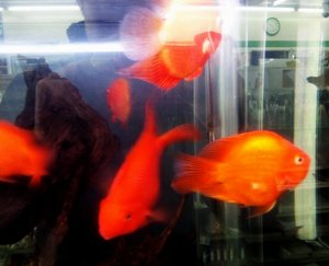 金魚?.jpg
